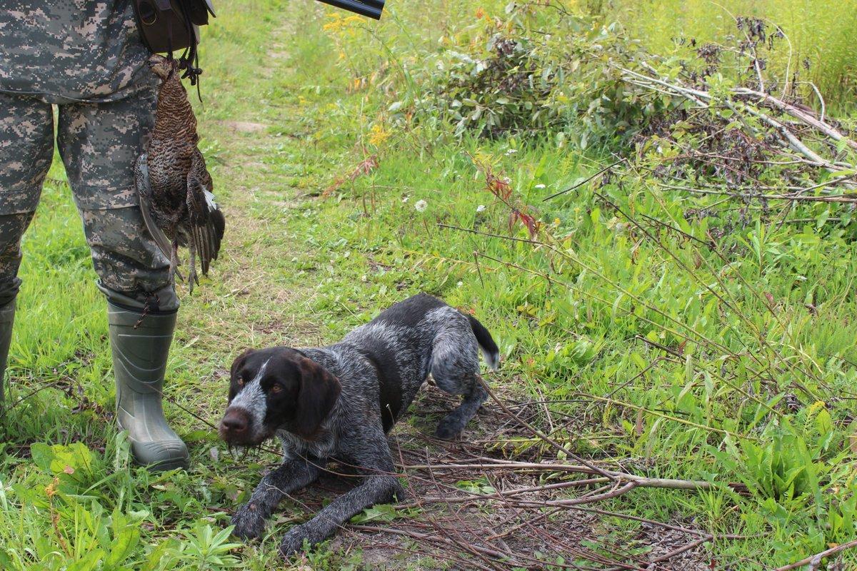 Охота на боровую дичь с собаками запрещена в Нижегородской области с 1 января
