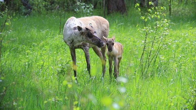 Пять оленят родились в Керженском заповеднике - фото 1