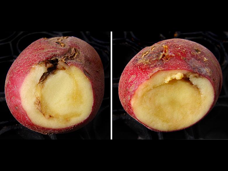 В нижегородском картофеле нашли опасную кольцевую гниль - фото 1