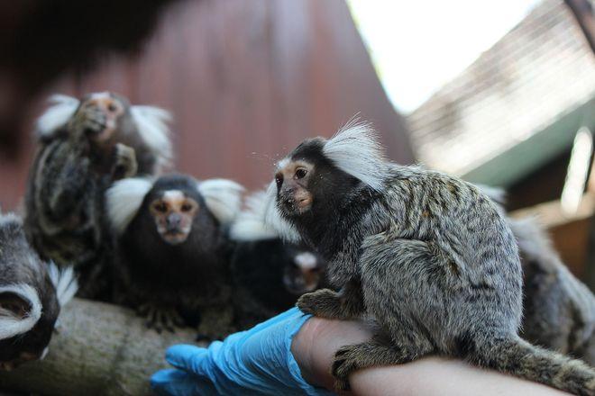 Маленькие игрунки появились на свет в нижегородском зоопарке - фото 3