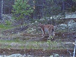 Редкий вокализ самца рыси запечатлели в Керженском заповеднике