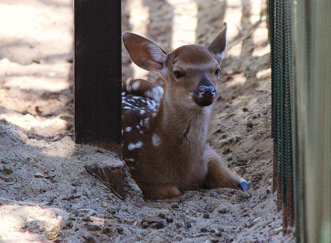 В нижегородском зоопарке родился пятнистый олененок - фото 1