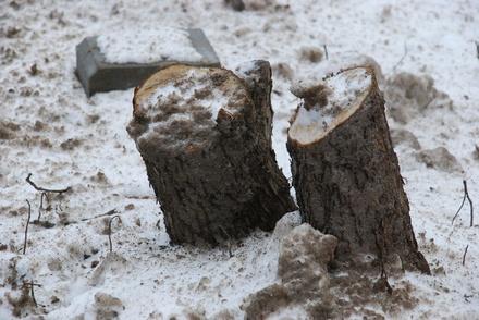 В Семенове незаконно вырубили деревья