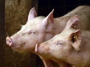 На 2% увеличилось поголовье свиней в Нижегородской области